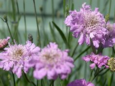 When the wind blooms,  scabiosa's  lavender, pink or white blooms often nod on their slender stems. Despite their rather unattractive name—scabiosa may come from a Latin word that refers to scabies, a skin disease that the plants were used to treat—the pretty, delicate flowers are butterfly magnets. The plants prefer full sun and tolerate drought and blossom until frost.