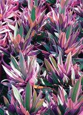 Tradescantia spathacea 'Dwarf Varigated' - Dwarf Variegated Rhoeo, Garden Art, Garden Ideas, Dwarf, Knob, Flowers, Plants, Landscaping Ideas, Plant, Backyard Ideas