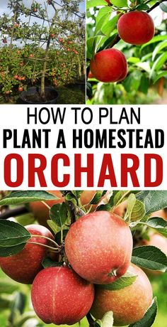 Generally, fruit trees and bushes are one of the most neglected things in every homestead, especially on a small homestead Orchard. #plan #plant #homestead #orchard