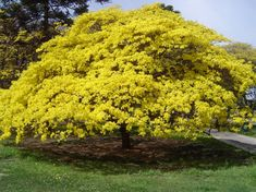 ipê amarelo, nunca vi tão grande e lindo !!!