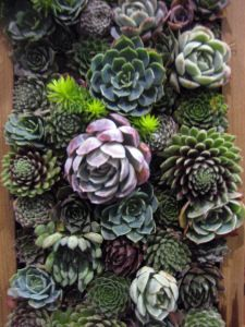 Succulent Wall from SG Plants