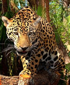 Jaguars-the apex predator in their home range-are the largest feline inhabiting the Americas and are as comfortable in the water as they are on land.