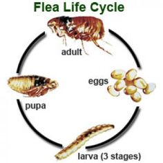 Natural remedies for getting rid of fleas