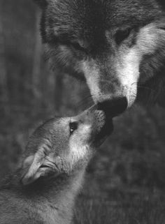 Mother and baby wolf