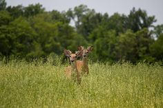 twin bucks out at Wolf Lake Causeway near Carterville IL