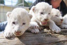 I sei leoncini bianchi di Monaco di Baviera