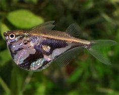 Carnegiella sp. - Hatchetfish sp.
