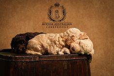 Kodiak Australian Cobberdogs for sale and Australian Cobberdog puppies for sale- therapy dogs for sale- what is an Australian Cobberdog? Therapy Dogs, Puppies For Sale, Lion Sculpture, Statue, Animals, Art, Art Background, Animales, Animaux