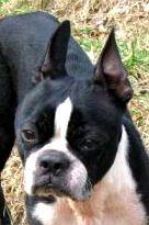 Meet *DARLA* a Petfinder adoptable Boston Terrier Dog Boston Terrier Rescue, Boston Terrier Love, Boston Terriers, Terrier Dogs, North Augusta, Little Critter, Heartstrings, Puppy Mills, Great Friends