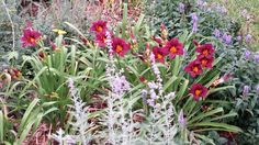 Russian sage, Daylilies, Veronica in front perennial bed