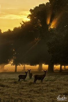 Deer's see First Rays of the day ~ Richmond Park, London ~ by Max Ellis Monuments, The Places Youll Go, Places To Visit, Beautiful World, Beautiful Places, Richmond Park, Richmond London, Mundo Animal, The Great Outdoors