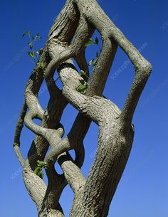 Complex pleaching of a tree trunk - Stock Image - - Science Photo Library Fruit Trees, Trees To Plant, Beautiful Gardens, Beautiful Flowers, Garden Art, Garden Design, Weird Trees, Theme Nature, Unique Trees