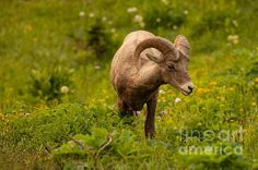 This beautiful big horn sheep was hanging out, munching on grass and flowers in an alpine meadow along the Going-To-The-Sun Road in Glacier National Park.