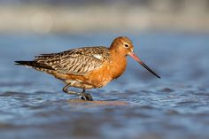 Photograph Pfuhlschnepfe | Bar-tailed Godwit by Urs Zimmermann on 500px
