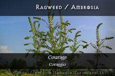 Magical Uses of Ragweed: Courage  Usi Magici dell'Ambrosia: Coraggio || L'antro della magia http://antrodellamagia.forumfree.it/?t=56726184