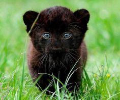 Cachorro de pantera negra.