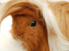 guinea pig, cobaya, cuy, cunipic, www.cobayas.org