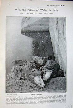 Alligator in Holy River Genges_1906