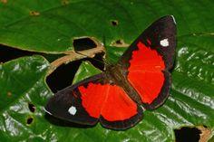 https://flic.kr/p/pZZYQy | Mesene leucophrys ECUADOR Napo Province, south of Tena, nr. Apuya, 30-X-2014_6716
