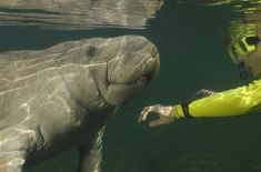 Crystal River, Tampa, Florida: Snorkel with the Manatees- Nov through March