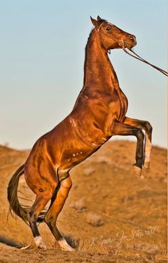 Turkoman horse from Iran