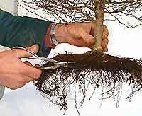 Bonsai Tree Repotting and Root Pruning