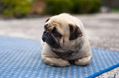 WHY ARE PUGS SO CUTE