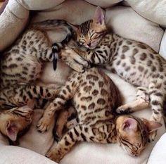 Bengal babies…