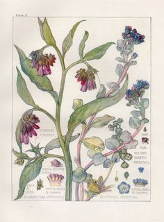 Comfrey- Wild Flower Botanical Print by Isabel Adams - Antique Print