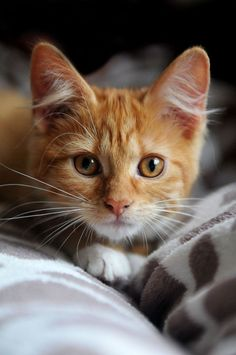 orange cat Gerjo Polinder on Cute Baby Cats, Cute Cats And Kittens, Kittens Cutest, Orange Tabby Cats, Red Cat, Black Cats, Pretty Cats, Beautiful Cats, Baby Animals