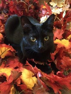 Young Black Cat Laying on Autumn Leaves. Pretty Cats, Beautiful Cats, Cute Cats And Kittens, Kittens Cutest, Crazy Cat Lady, Crazy Cats, Animals And Pets, Cute Animals, White Cats