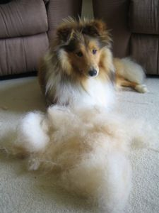 How to groom a Shetland Sheepdog.  I can usually brush out enough hair to make another dog.