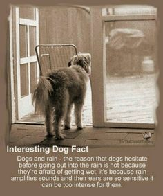 Facts About Your Dog - Facts About Dog Breeds, Dog Training, Dog Health and Dog Food Yorkies, Pomeranians, Chihuahuas, Animals And Pets, Cute Animals, Animal Facts, Animal Antics, Vizsla, Weimaraner