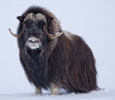 Musk Ox in Nome, Alaska. McHardy McHardy McHardy Taylor Hallberg, pack your bags, we are going to Alaska! Large Animals, Baby Animals, Cute Animals, Arctic Animals, Wild Animals, Beautiful Creatures, Animals Beautiful, Musk Ox, Crazy Eyes