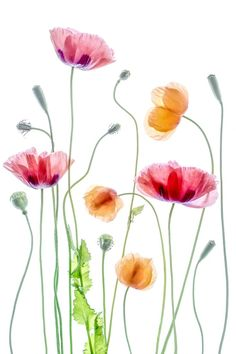 Poppies 1 Poster in der Gruppe Poster / Botanik bei Desenio AB Poppies by Mandy Disher - Photo 159383019 - by MandyDisher Still Life Photography Watercolor illustrations picture Magnolie by LISIZA Art Floral, Motif Floral, Watercolor Cards, Watercolour Painting, Watercolor Flowers, Poppies Art, Watercolors, Watercolor Border, Pink Poppies