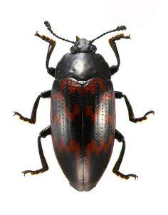 Megischyrus undatus