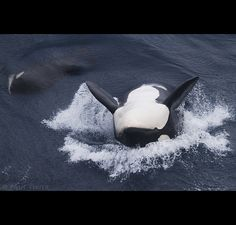 a female killer whale playing at the bow of our vessel is being watched by her 1 yr old offspring, Crozet offshore waters. Most Beautiful Animals, Ocean Creatures, Killer Whales, Whale Watching, Sea World, Ocean Life, Marine Life, Dolphins, Mammals