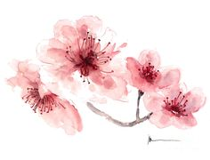 watercolor jazmine | Cherry Blossom Fragrance Watercolor Art Print Painting is a painting ...