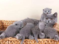Familienbande: Britisch Kurzhaar Katze mit Nachwuchs — Bild: Shutterstock / Irina Zhuravlova www.einfachtierisch.de