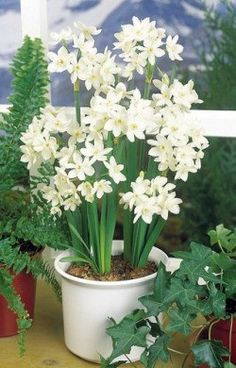 Paperwhite narcissus -how to keep stems from bolting while forcing bulbs