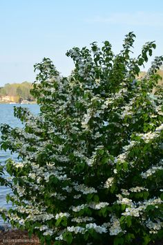 Fast Growing and Low Maintenance White Spring Blooms – Home is Where the Boat Is