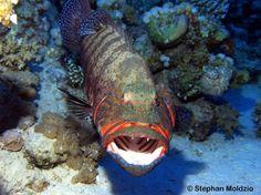 Coral reef predator uses sign language to hunt