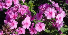 Phlox amplifolia 'Winnetou' op vasteplant.be
