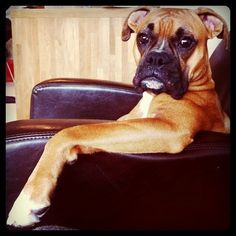 Boxer Dog-looks like my baby and something he would do