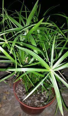"""""""PAPIRO, PAPIRO DE EGIPTO -- Cyperus papyrus"""" - Nombre científico o latino: Cyperus papyrus - Nombre común o vulgar: Papiro, Papiro de Egipto - Familia: Cyperaceae (Ciperáceas). - Origen: Cuenca del Nilo, Africa tropical hasta Egipto. - Planta acuática o palustre, arraigante por lo general con rizomas. - Rápido crecimiento. - Hojas basales pequeñas. - Flores agrupadas en inflorescencias, con numerosas brácteas de hasta 30 cm de largo, filiformes. - Época de floración: finales de primavera…"""