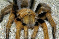 DESERT BLOND TARANTULA This 3 to 5 in (8 to 13 cm) large bodied, burrowing spider is commonly seen during the summer rainy season in southwestern deserts. The female is usually a uniform tan color. The male has black legs, a copper-colored cephalothorax and a reddish abdomen. Their burrows can be as large as 1 to 2 in (25 to 51 mm) in diameter, with some strands of silk across the opening.