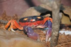 Halloween Crab, Crabs, Zodiac, Angels, Sign, Pets, Angel, Signs, Horoscope