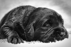 Gru - little black labrador puppy