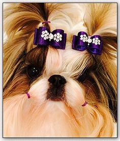 """shih tzu-Mr Foo's Bunny Beury Breadloaf """"BUNNY"""" is modeling two puppy bows! Yorkie Puppy, Shih Tzu Dog, Shih Tzus, Dog Hair Bows, Dog Bows, Cute Dogs And Puppies, Baby Dogs, Dog Pictures, Animal Pictures"""