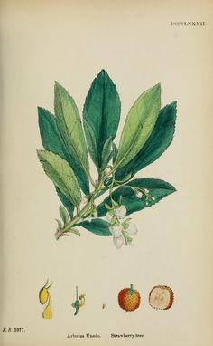 v.6 (1880) - English botany, or, Coloured figures of British plants / - Biodiversity Heritage Library